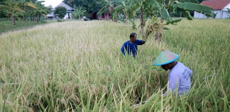 Di Bawah Pantauan BBPP Batu, Petani Lamongan Tetap Panen Raya Padi